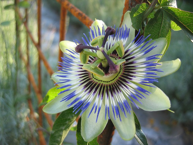 passion-flower-191583_640