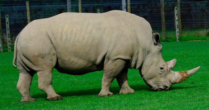 rinocerontes-blancos-ceratotherium-simum